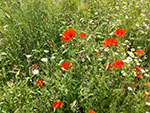 Eden Project - Poppies - July 2014