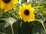 Eden Project - Sunflowers - July 2014