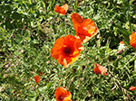 Summer Poppies - Gill an Creet St Ives - August 2013